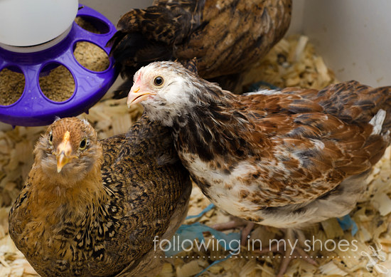 Salmon Faverolle Pullet from Ideal Hatchery