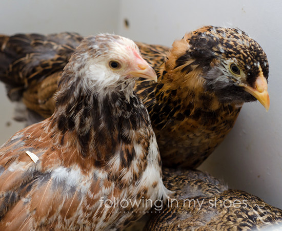 Salmon Faverolle Pullet with Dark Coloring