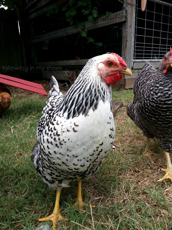 Silver Laced Wyandotte Backyard Chicken Breed