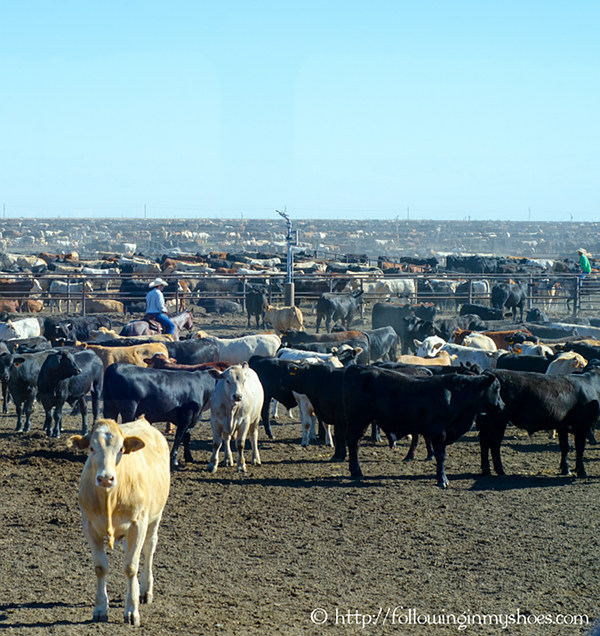 Cattle at Hale Center Feedlot